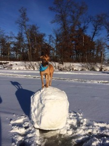 Dog standing on giant snowball - Winter in Minnesota