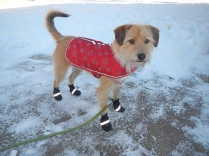 Dogs wear sweaters and boots - Winter in Minnesota