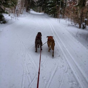 dogs skijoring in minnesota