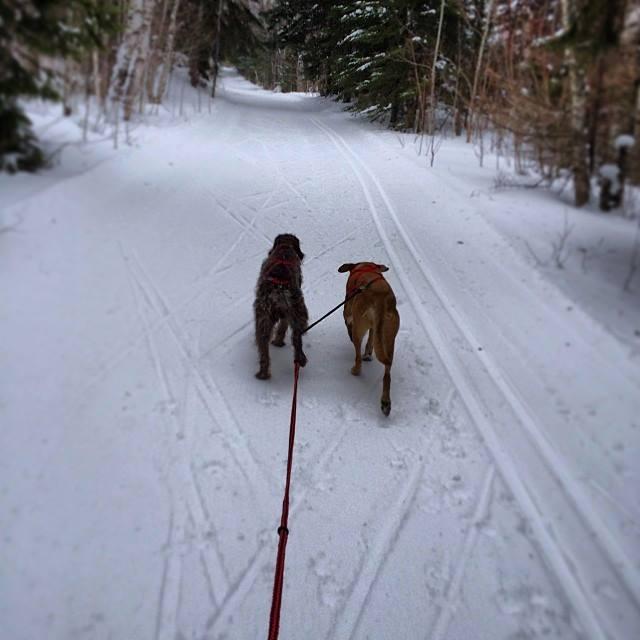 dogs skijoring in minnesota